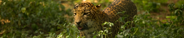 leopardheader