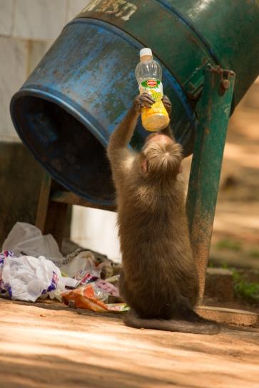Monkey drinking