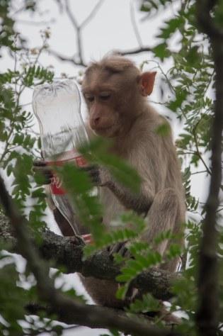 Nandi Hills Monkeys1