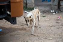 Varthur road dog