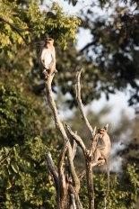 Monkeys on high alert